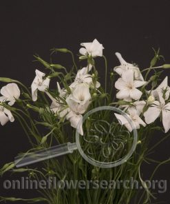 Agrostemma White