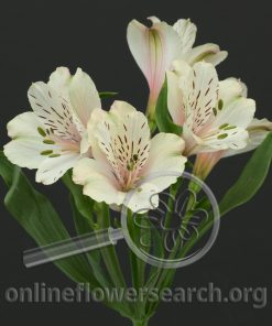 Alstroemeria Dirty Dancing