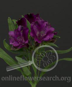 Alstroemeria Olympia
