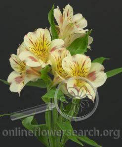 Alstroemeria Sabina