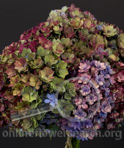 Hydrangea Double Antique
