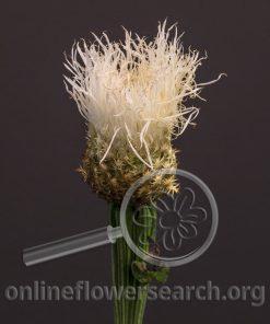 Centaurea Americana Alba