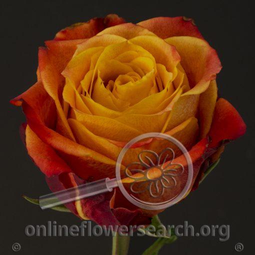 Rose Atomic