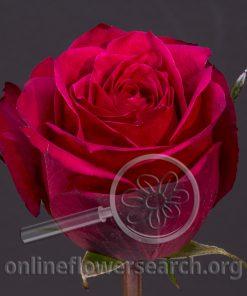 Rose Brave