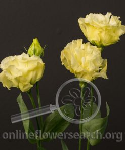 Lisianthus Japanese - Cream