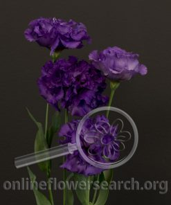 Lisianthus Japanese - Purple