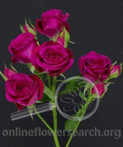 Spray Rose Alicia