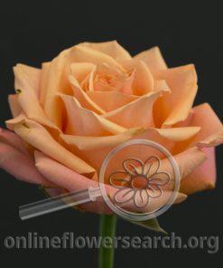 Rose Taxo
