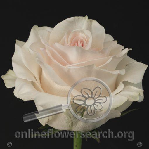 Rose Pastella (aka White Wedding and aka Whisper)