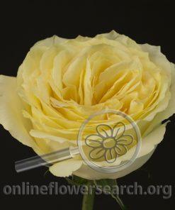 Rose Garden Campanella