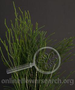 Kunzea ericafolia