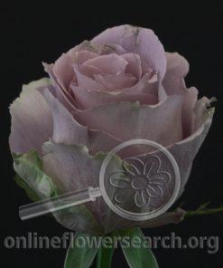 Rose Grey Knights