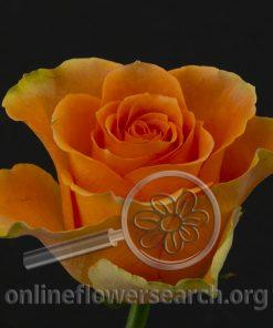 Rose Peach X-pression (Orange Wonder)
