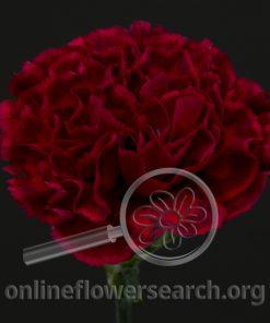 Carnation Freya
