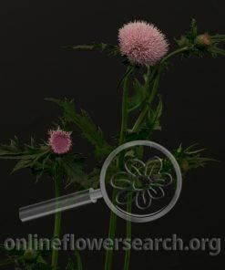 Cirsium rivulare Light Pink