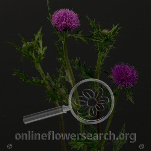 Cirsium rivulare Purple