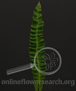 """Asplenium nidus """"Chrispy Wave"""""""