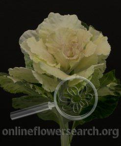 Kale/Cabbage Ornamental White-Corgy