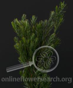 Leucadendron Pisa