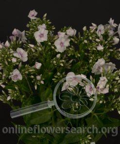 Phlox Bicolor Pink