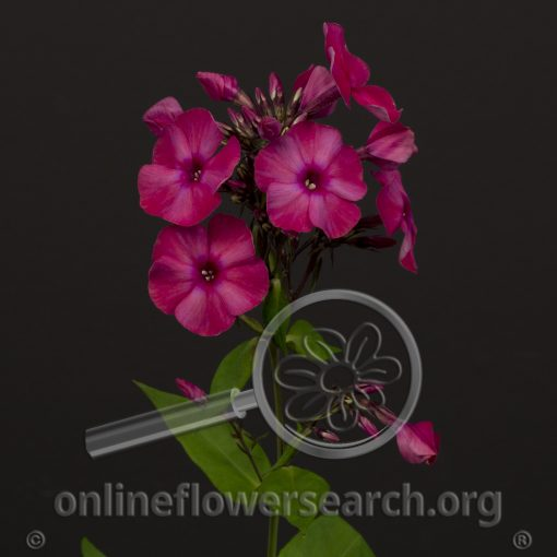 Phlox Fuchsia