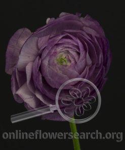 Ranunculus Japanese Blue/Lavender/Purple