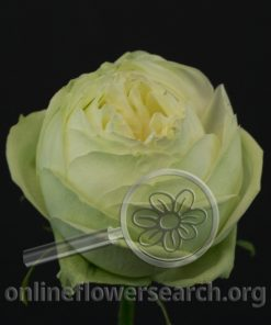 Rose Lime Piano
