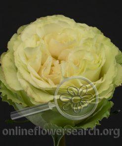 Rose Mayra's Rose Green (aka Romance Mayra; aka Mayra's Rose Cream; aka Mayra's Rose Champagne)