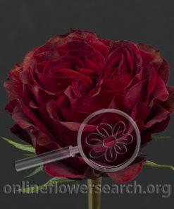 Rose Mayra's Rose Red