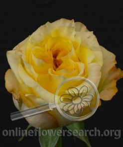 Rose Sweet X-pression