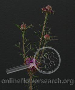 Leucadendron Isopogon Purple