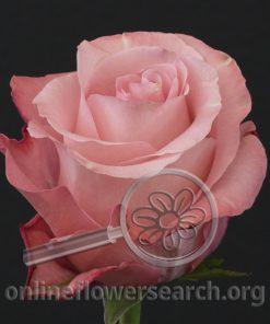 Rose Conquista