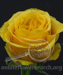 Rose Frida