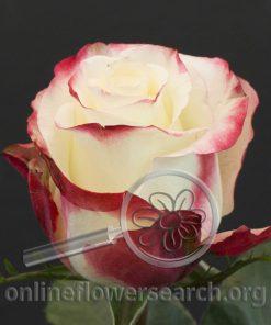 Rose Burlesque