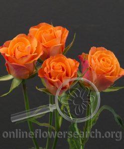 Spray Rose Brilliant Stars Orange
