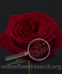 Rose Cyclone