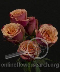 Spray Rose Antigua