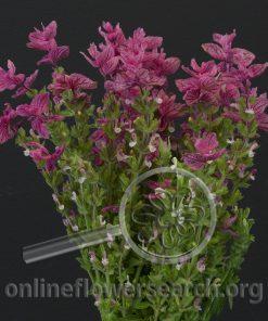 Salvia Pink Monday