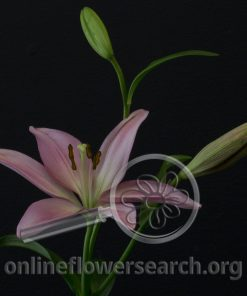Lily LA Hybrid Sugar Diamond