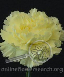 Carnation Gioele