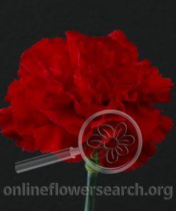 Carnation Grand Slam