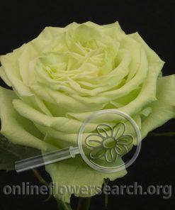 Rose Lemon Pie (aka Green Wonder)