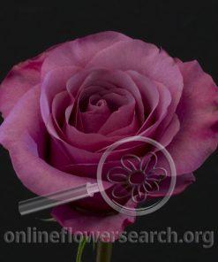Rose Sweet Grape