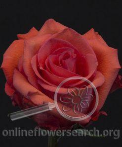 Rose Ocaso