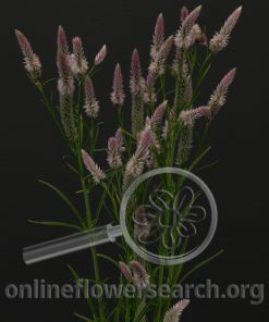Celosia Wheat Light Pink