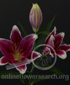 Lily Oriental Metropolitan
