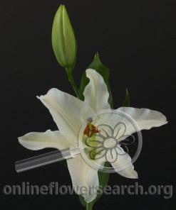 Lily Oriental Signum