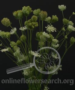 Queen Anne Lace Pods