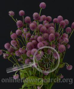 Gomphrena Globosa Pink
