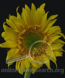 Sunflower Sunsplash (Green Center)